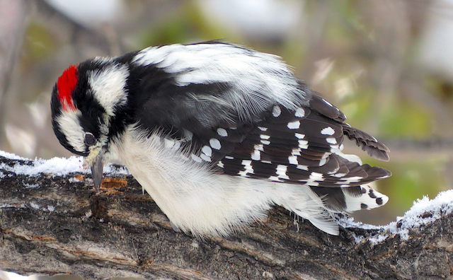 Downy Woodpecker (Rocky Mts.)
