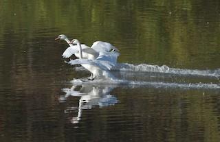 Mute Swan, ML119127341