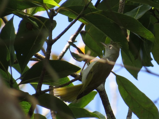 White-bellied Erpornis