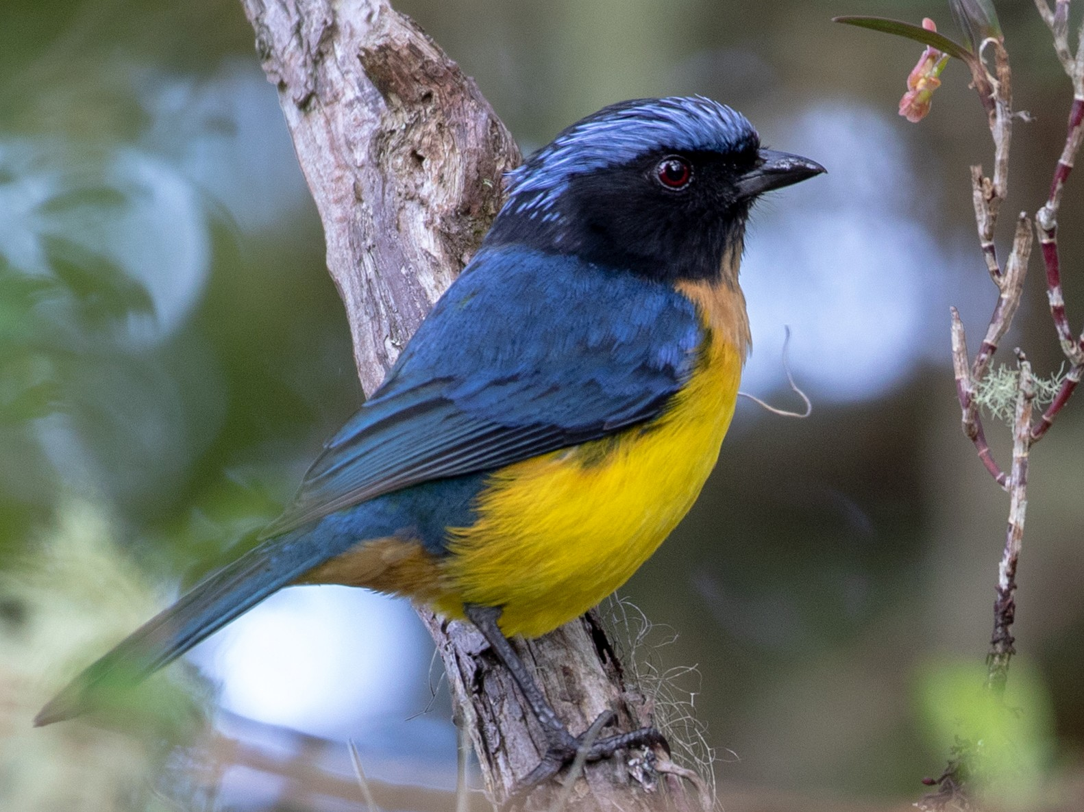 Buff-breasted Mountain-Tanager - Drew Weber