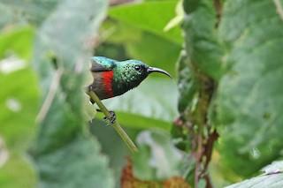 - Usambara Double-collared Sunbird