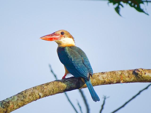 ©Renju TR - Stork-billed Kingfisher