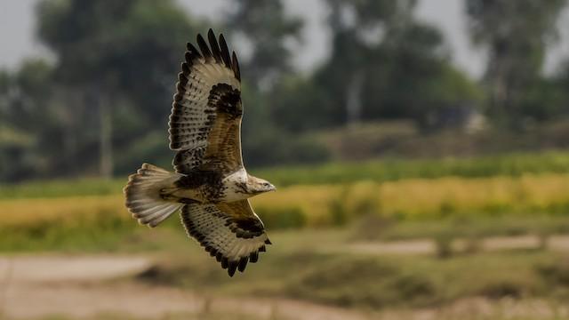 Himalayan Buzzard