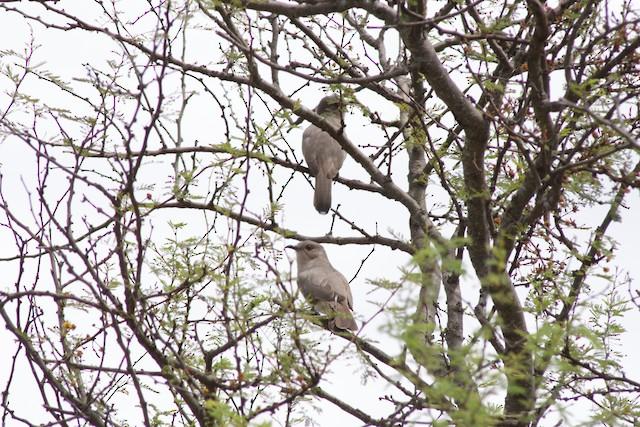 Ash-colored Cuckoo