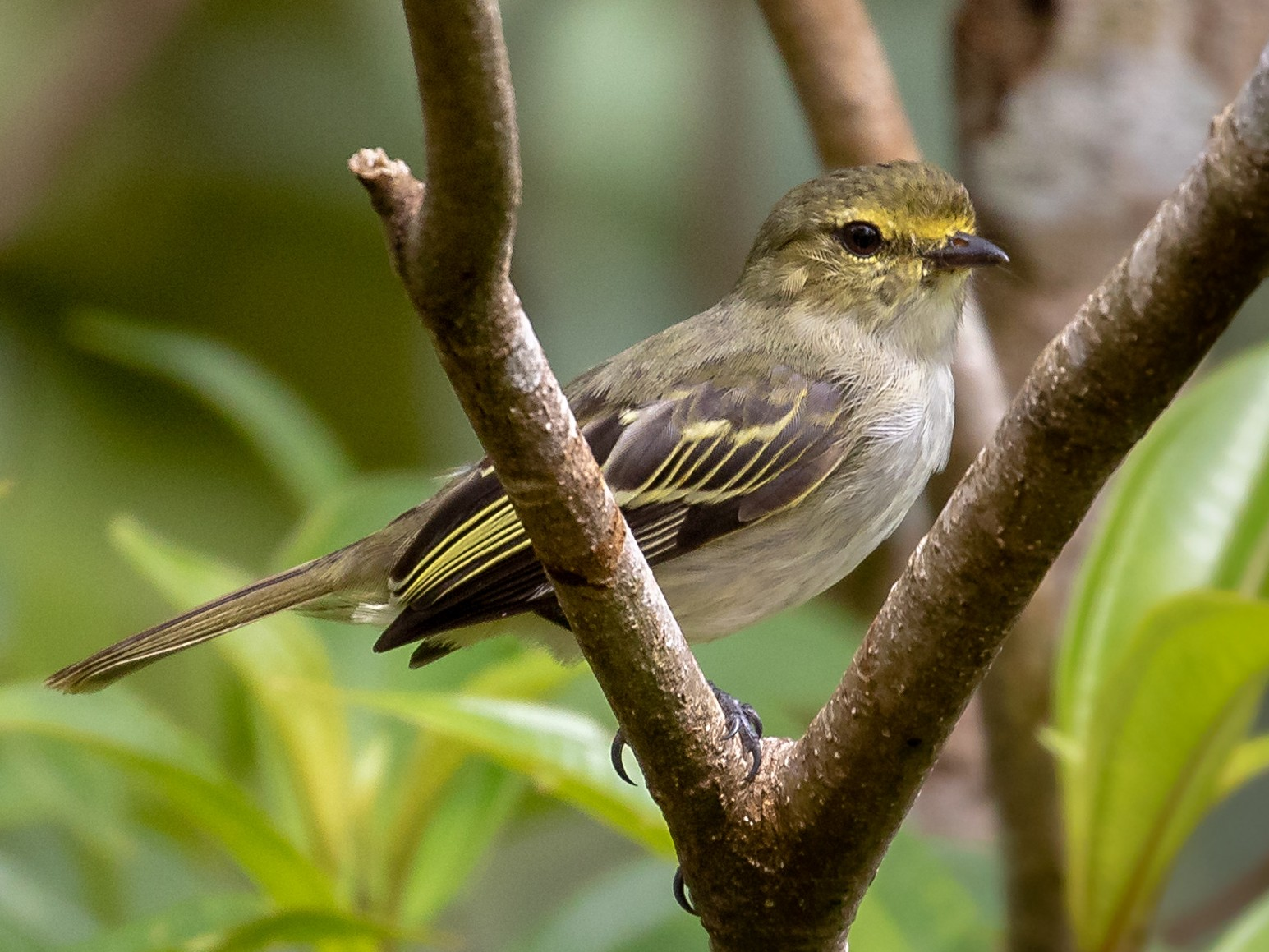 Golden-faced Tyrannulet - Drew Weber