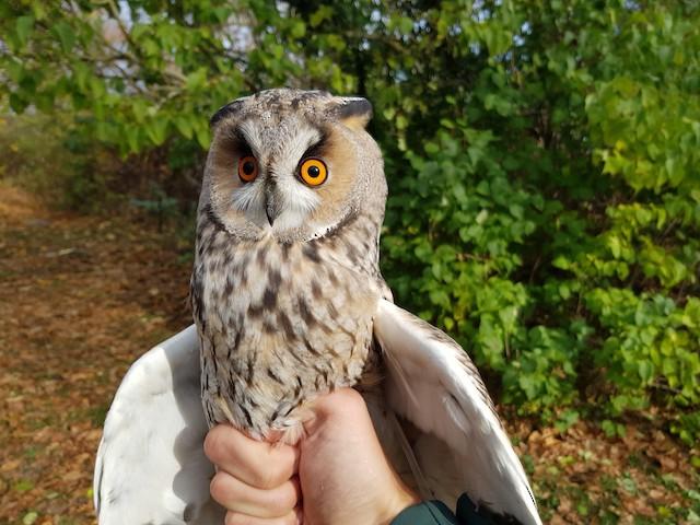 Long-eared Owl (Eurasian)