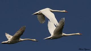 Mute Swan, ML119661721