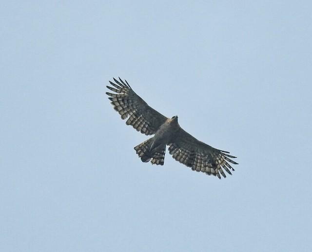 Legge's Hawk-Eagle