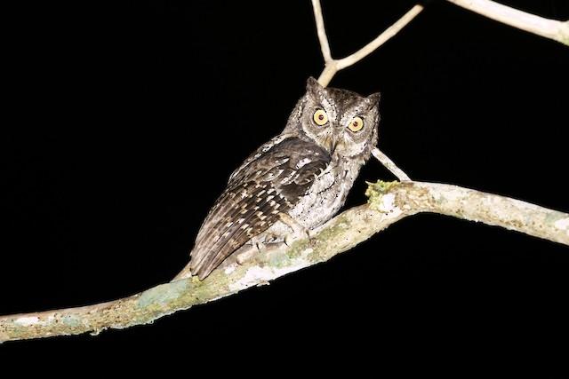 Moluccan Scops-Owl