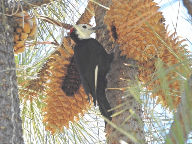 White-headed Woodpecker foraging at pine cone.