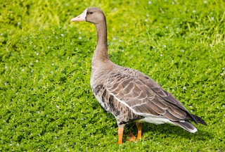 Greater White-fronted Goose, ML119916351