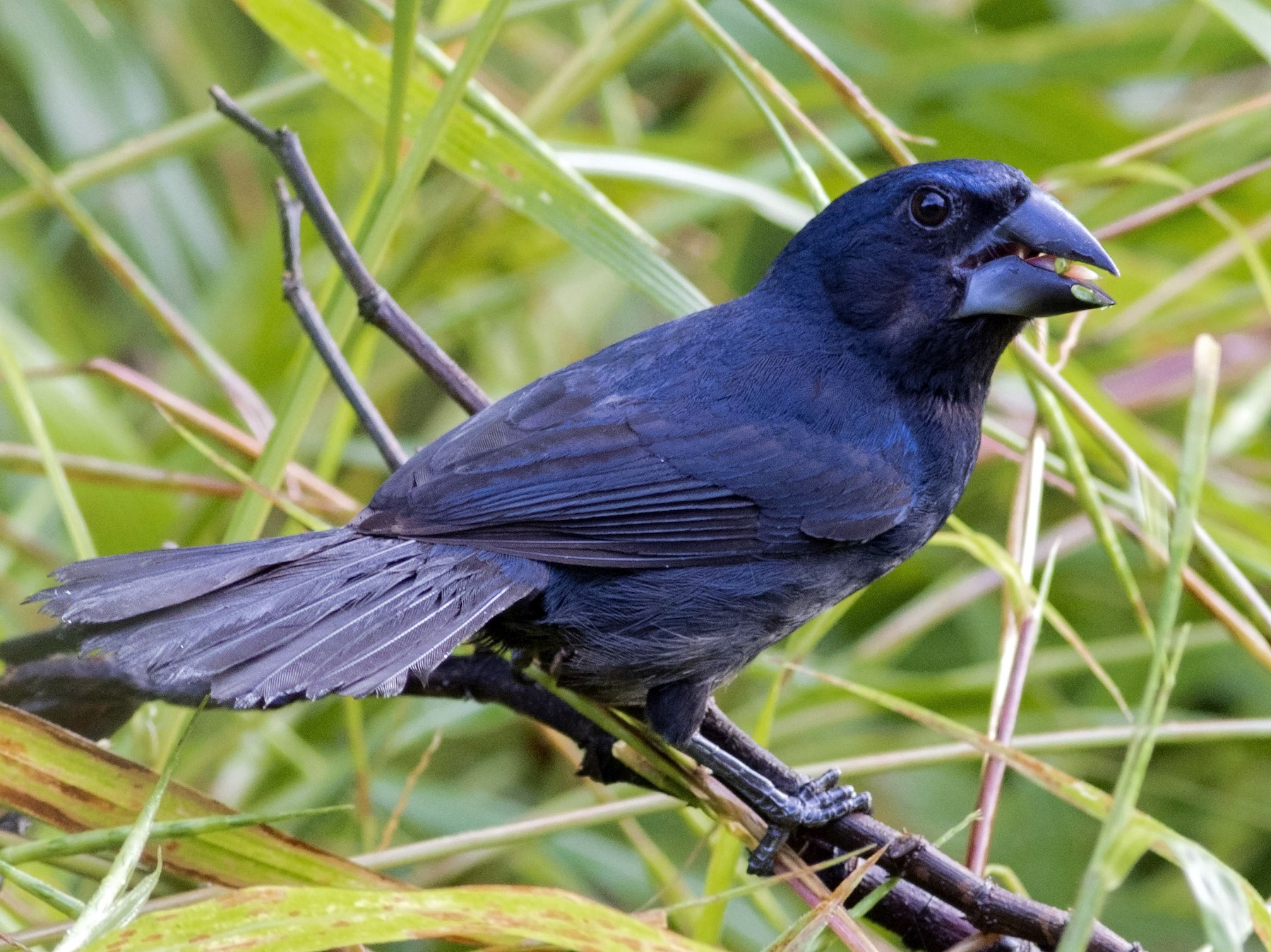 Blue-black Grosbeak - Guillermo  Saborío Vega