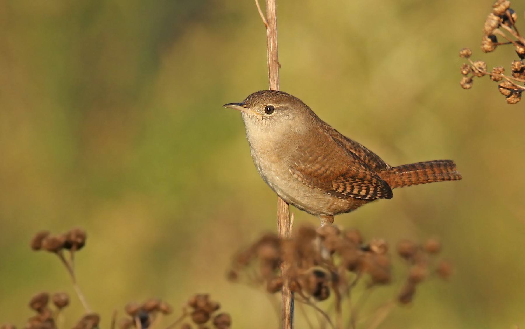 House Wren (Northern) - Ryan Schain