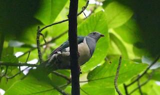 - Cream-breasted Fruit-Dove