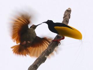 - Twelve-wired Bird-of-Paradise