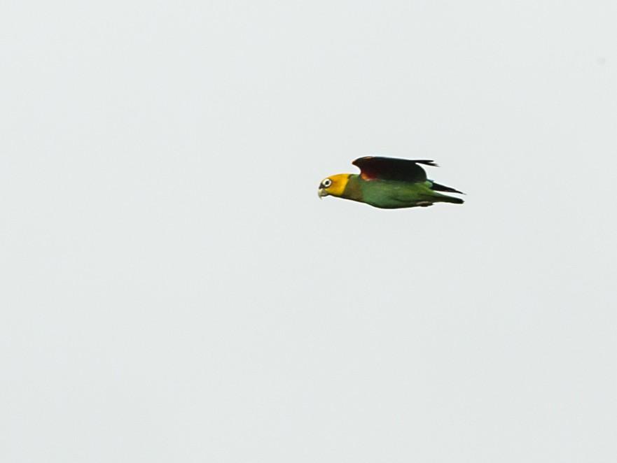 Saffron-headed Parrot - Juan Diego Castillo