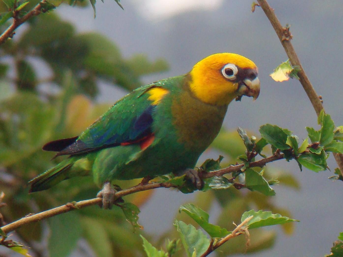 Saffron-headed Parrot - Carlos Mario Wagner Wagner