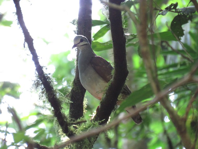 Tuxtla Quail-Dove