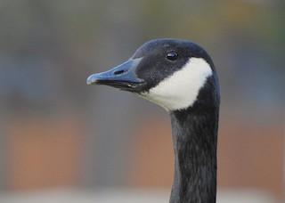 Canada Goose, ML120426271
