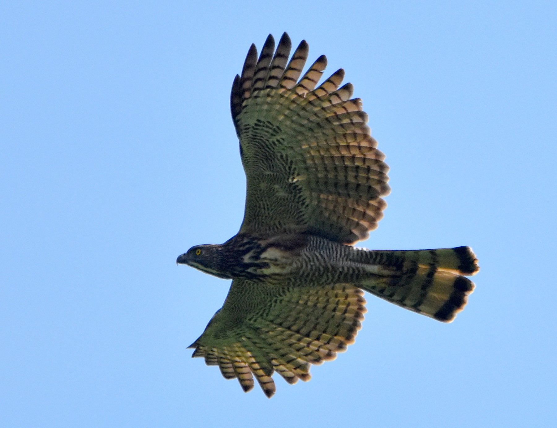 Pinsker's Hawk-Eagle - Chris Chafer