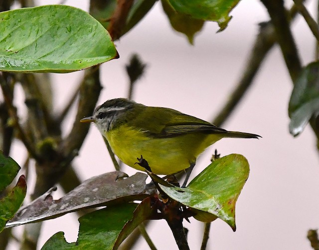 Island Leaf Warbler (New Guinea)