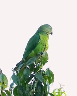 - Blue-collared Parrot