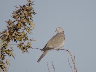 Eurasian Collared-Dove, ML120615621
