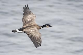Cackling Goose (Aleutian), ML120630841