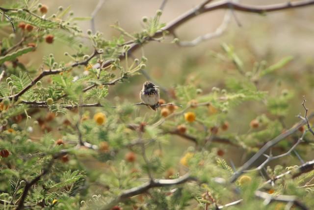 Short-tailed Woodstar