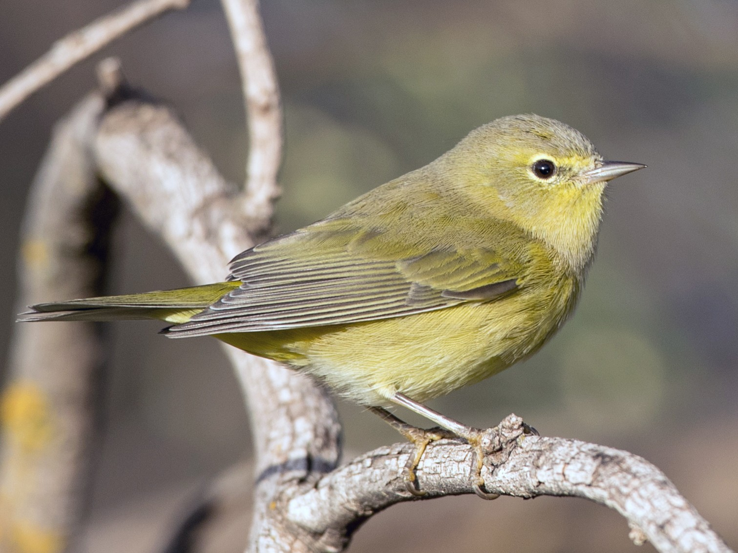 Orange-crowned Warbler - Ian Davies
