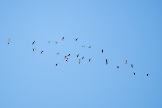 Greater White-fronted Goose, ML120800431