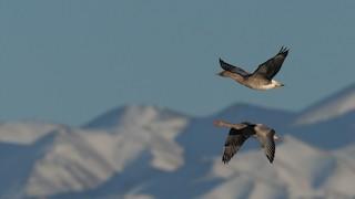 Graylag Goose, ML120888301
