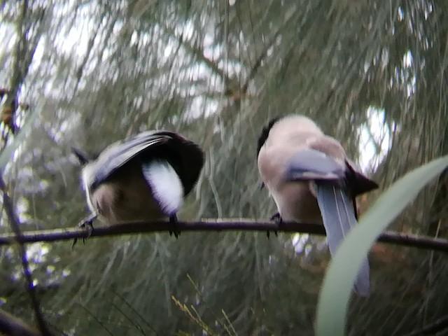 Iberian Magpie