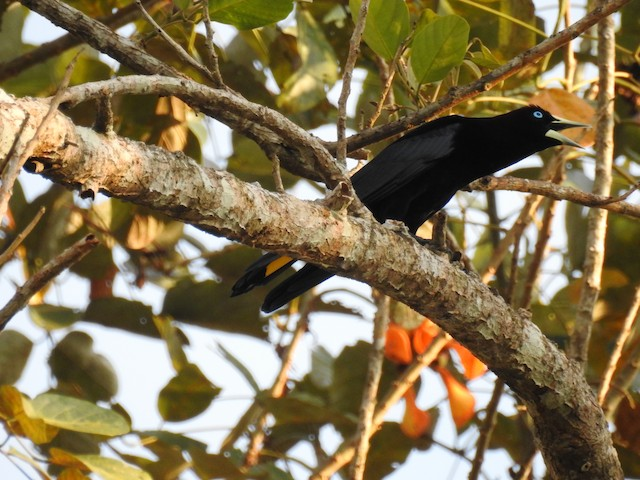 Band-tailed Cacique