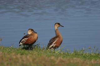 Wandering Whistling-Duck, ML121088721