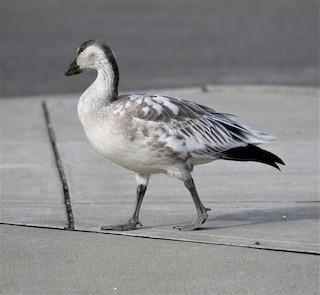 Snow Goose, ML121105421
