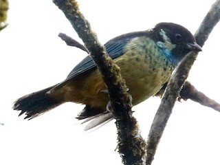 - Green-naped Tanager