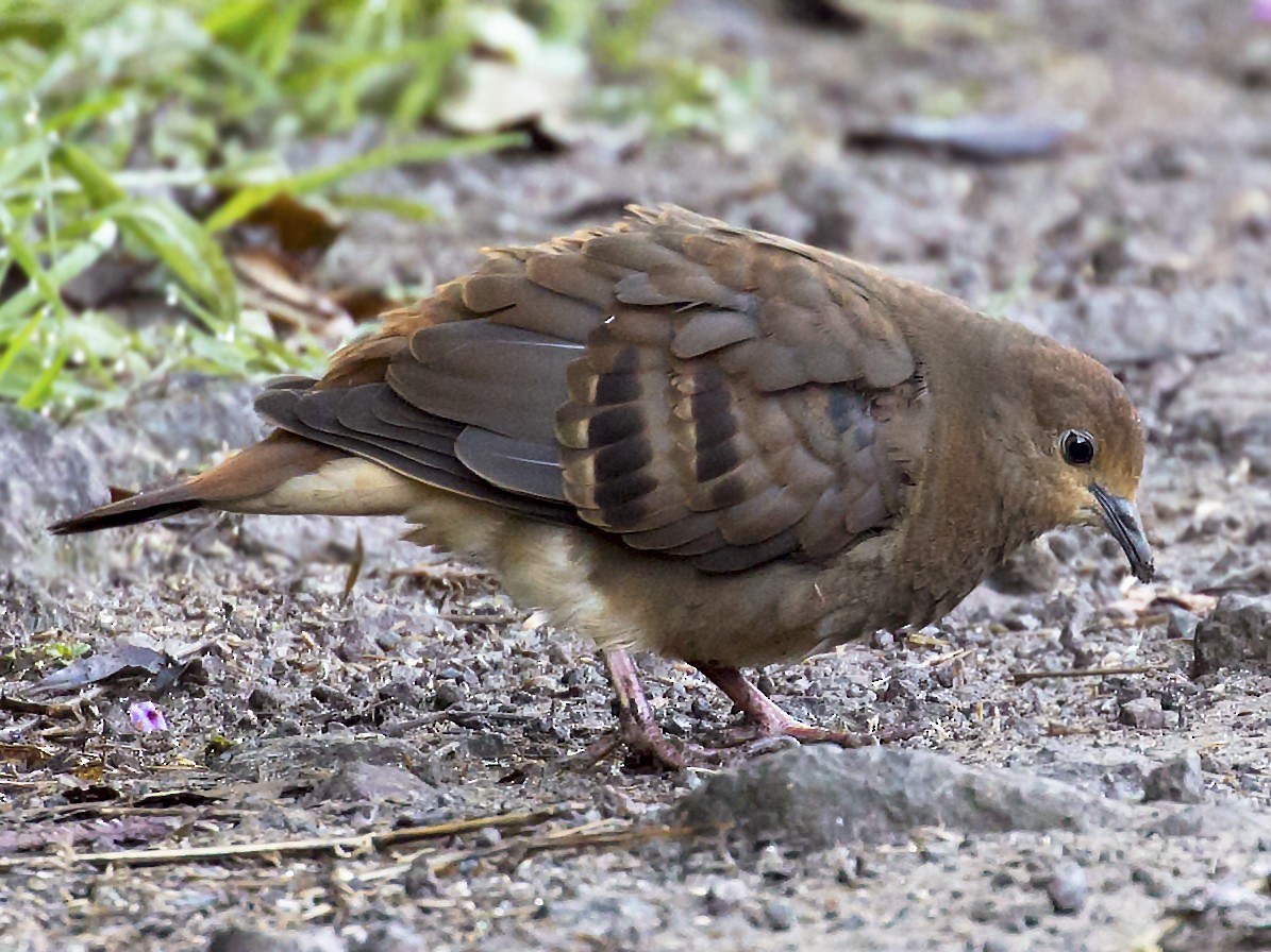 Maroon-chested Ground Dove - Renato Espinosa