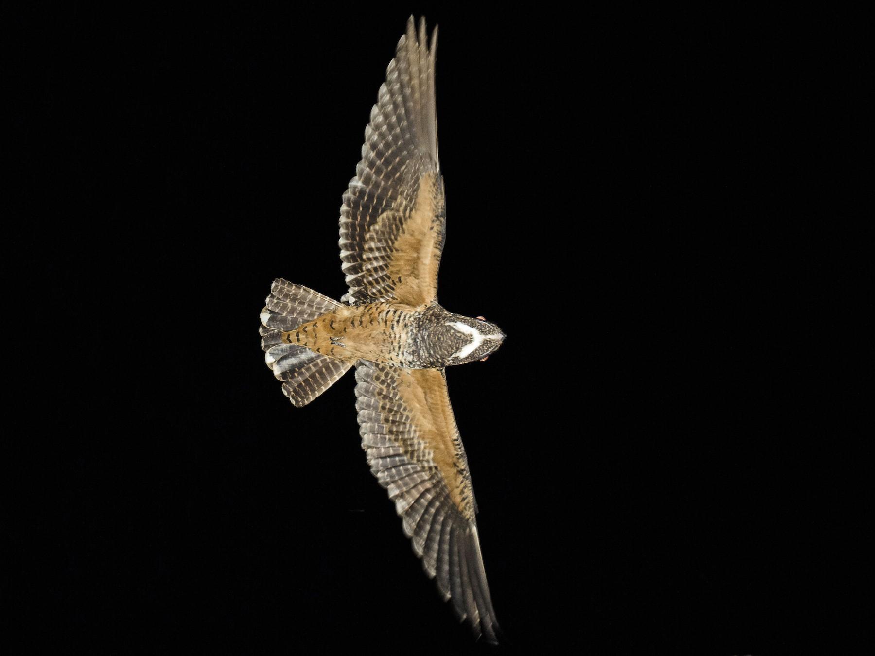 Short-tailed Nighthawk - João Salvador