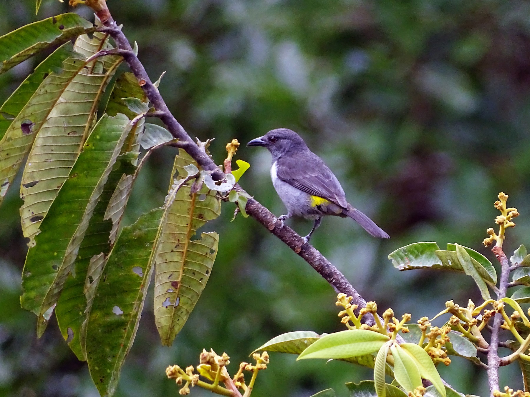 Sulphur-rumped Tanager - Fundación Naturaleza y Ciencia 507 (#HarpyFans) NatyCiencia507