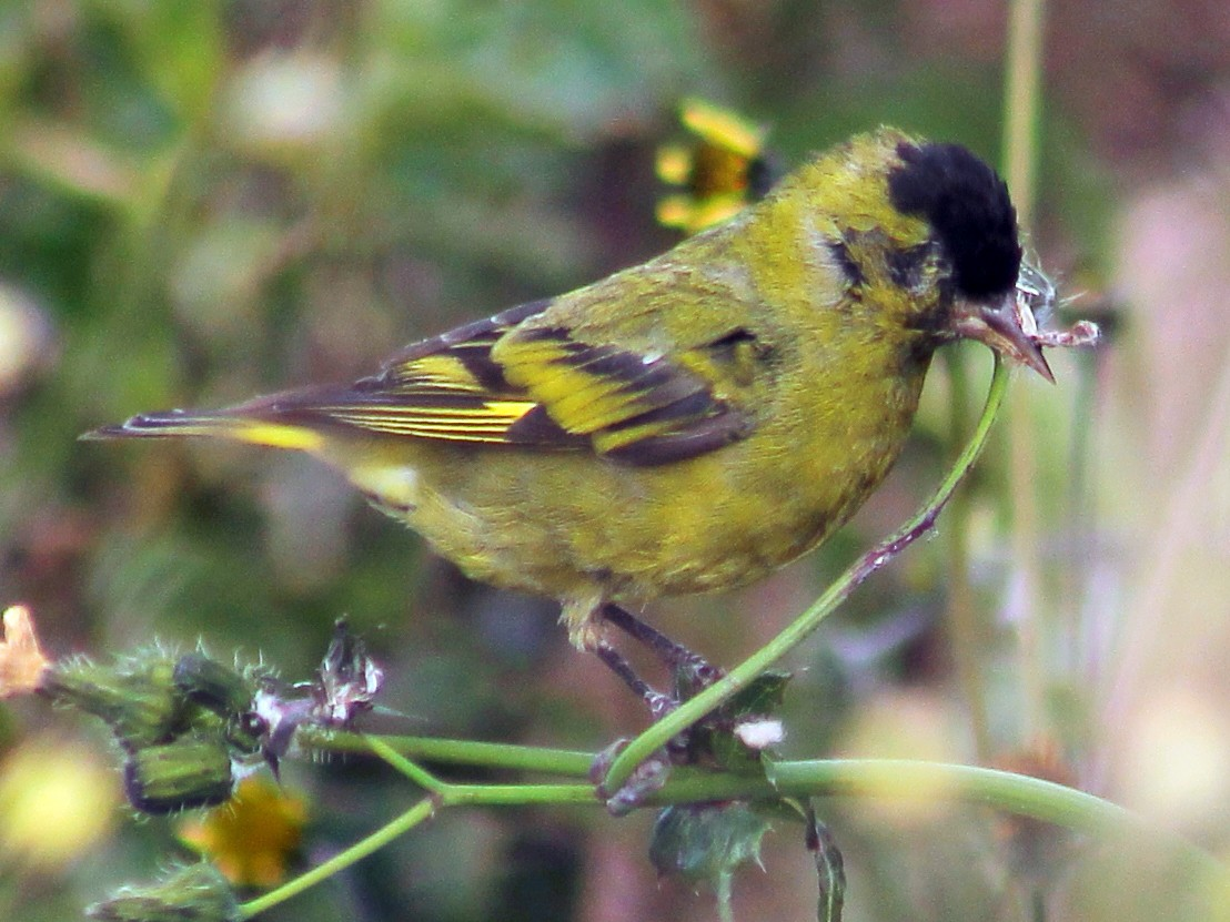 Black-capped Siskin - Esteban  Matias