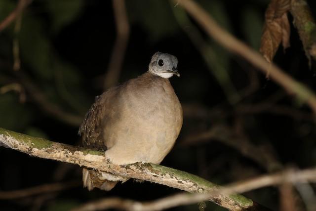 White-throated Tinamou
