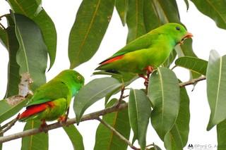 - Pygmy Hanging-Parrot