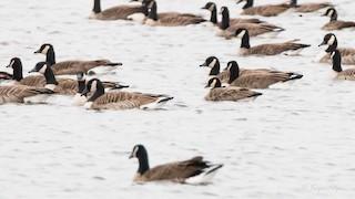 Cackling Goose, ML121341751