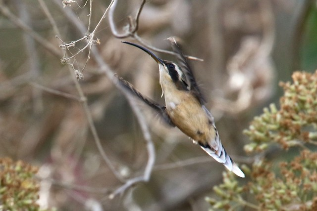 Gray-chinned Hermit (Porculla)