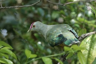 Red-bellied Fruit-Dove, ML121378621