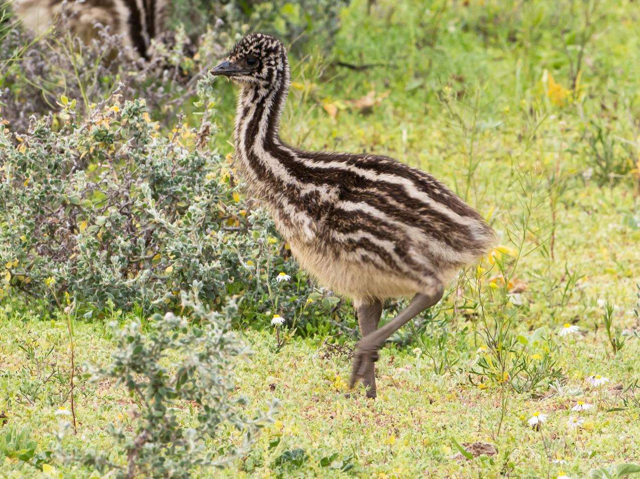Emu - John  Van Doorn