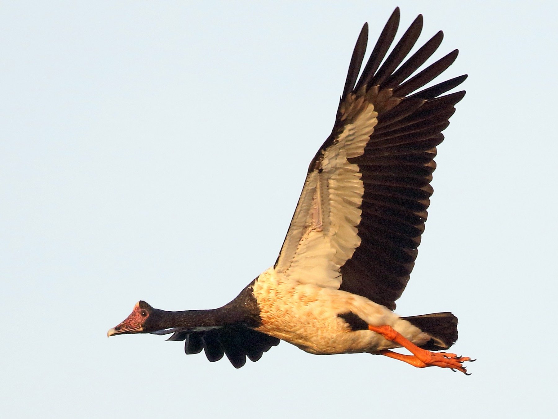 Magpie Goose - Michael Rutkowski