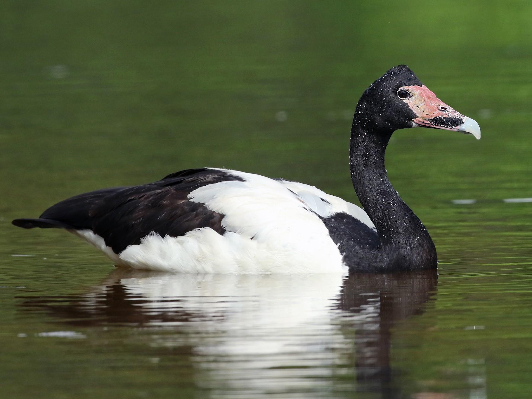 Magpie Goose - Luke Seitz