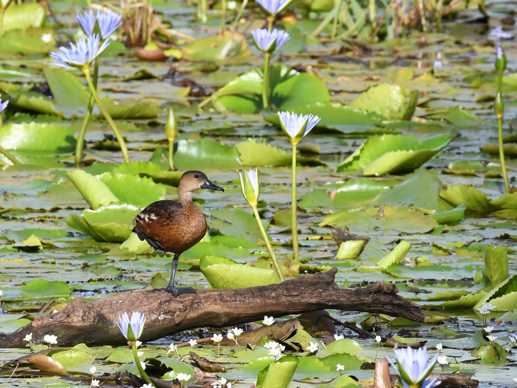 Wandering Whistling-Duck - Terence Alexander